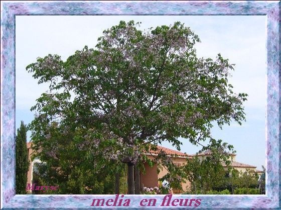 m lia arbre aux fleurs bleus mauve. Black Bedroom Furniture Sets. Home Design Ideas